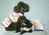 photo of  2 toy poodles, provided by swankyd.com